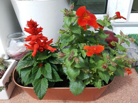 Feuersalbei und Gaucklerblume