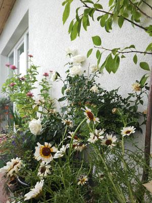 Meine wunderschönen Wucherblumen blühen nun schon seit Anfang Juni ununterbrochen. Absolute Empfehlung!