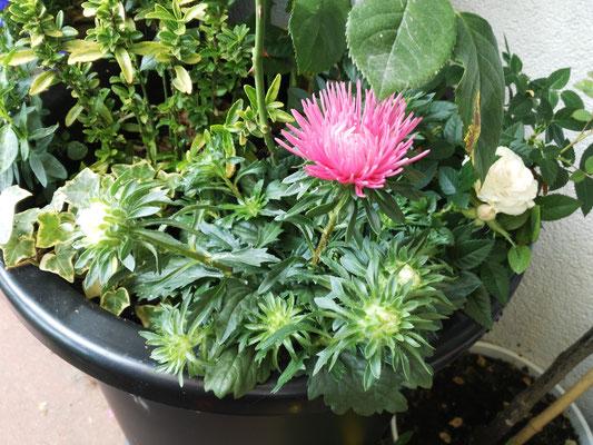 Sommerastern sind meiner Meinung nach viel schöner als ihre herbstlichen Namensvettern und passen wunderbar zu Rosen oder Sommerstauden. Empfehlung: fertige Pflanzen im Sommer kaufen und einfach Lücken in Kübeln auffüllen!