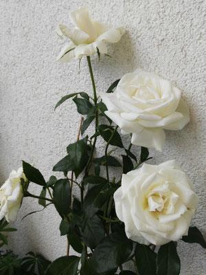 Kletterrose - endlich habe ich auch eine!!! Wunderschöne große Blüten. Einfach nur richtig super dekorartiv. Empfehlung: ganz tiefen Kübel wählen, damit die Pflanze Wachstumspotential hat!