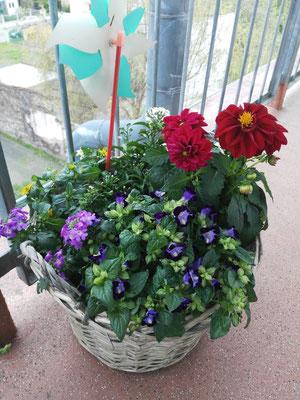 Bunte Bepflanzung: Dahlie in rot, Torenia in lila, Verbene in flieder, Husarenknöpfchen in gelb und Jasmin in weiß