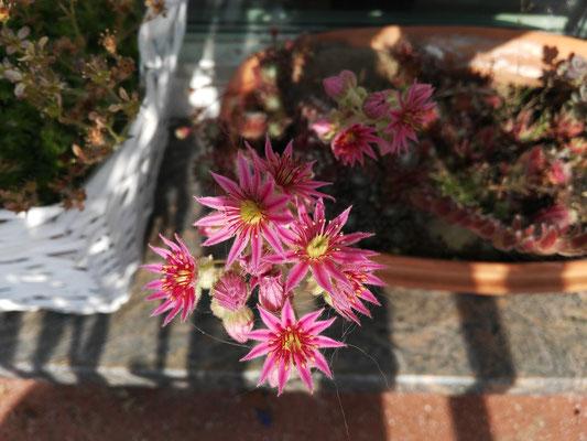 Tolle rosa Hauswurzblüte