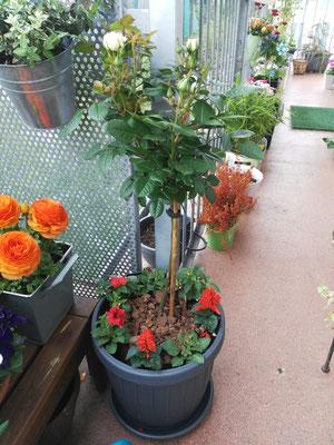 Ein Rosenstämmchen hat erst vor ein paar Tagen Einzug gefeiert. Ich gebe nicht auf, auch wenn mir der Mehltau das Rosenvergnügen bisher immer vermiesen wollte.