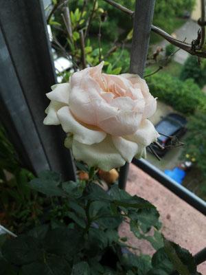Kleinwüchsige Rosen brauchen auch ausreichend große Kübel - Empfehlung: Erde mit Moos oder Rindenmulch/ Piniendekor abdecken und die Rose fühlt sich wohl.