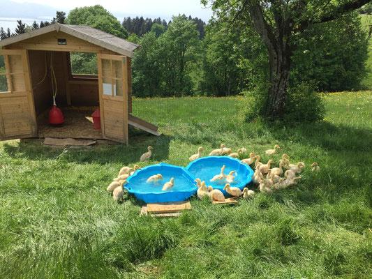 Unsere Enten genießen ihr frisches Bad