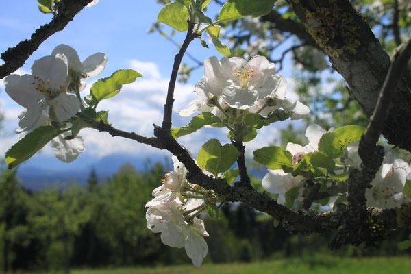 Schön, wenn unsere über 40 Obstbäume blühen