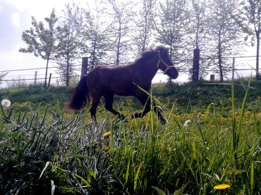 Herr Pony durfte noch die Freiheit auf der Weide genießen.
