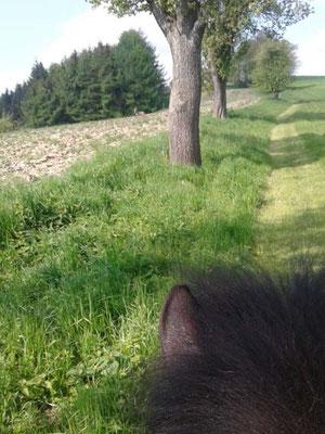 Gespitzte Ohren beim Pony, der Rehbock steht links von den Bäumen.