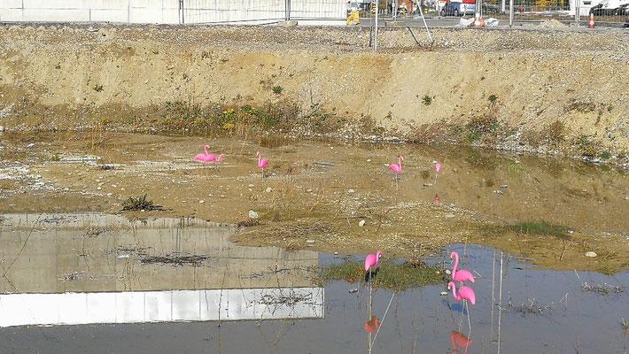 Diese seltene künstliche Flamingos wartet in einer Romanshorner Baugrube auf den Baustart....