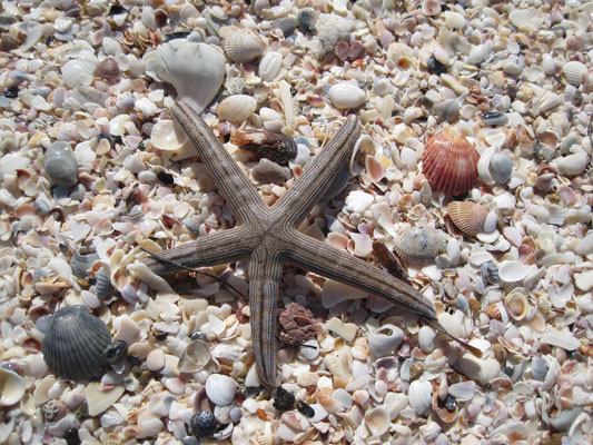 twinkle twinkl little Starfish