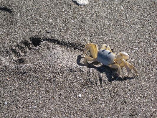 little crab in big steps on Turtle Beach - Siesta Key