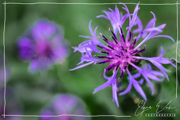 Kornblume im Garten Naturfoto Blumenfoto Kunstfoto Fine Art