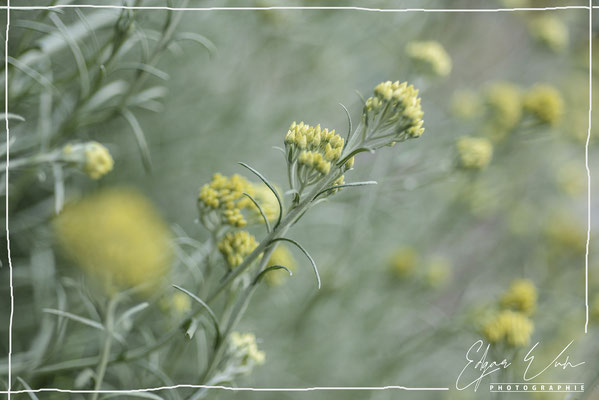 Currykraut Gewürze im Garten Naturfoto Blumenfoto Kunstfoto Fine Art