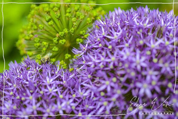 Allum im Garten Naturfoto Blumenfoto Kunstfoto Fine Art Stockfoto