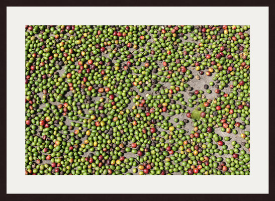 Freshly Picked Coffee, Kannan Devan Hills, Kerala