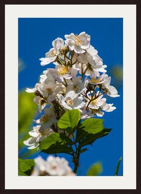 Rose Blossoms, Graefenhausen