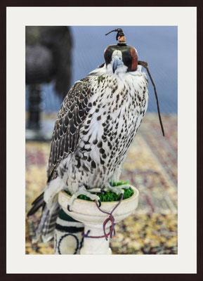 Hawk, Dubai