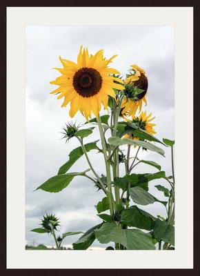 Sunflower, Kandern