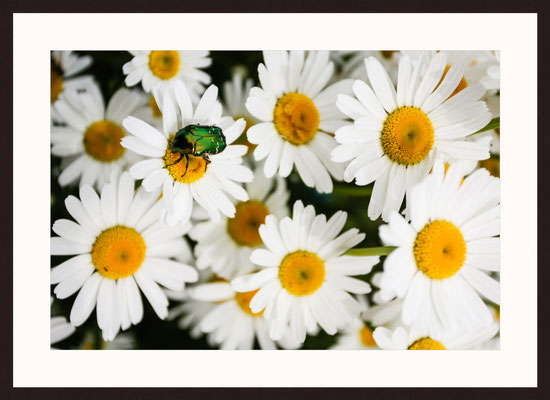 Copper Rose Chafer, Holzen