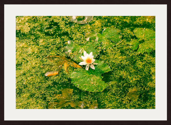 Water Lily, Saint-Pierre Park, Amiens