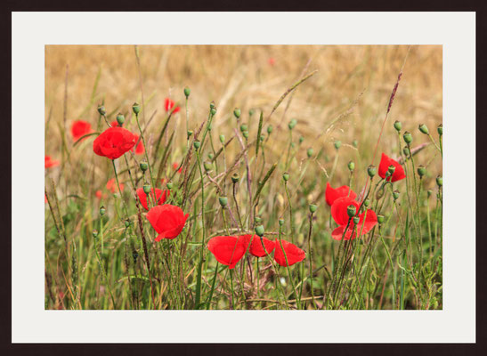 Poppies, Teck Castle