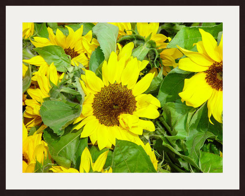 Sunflowers, Ludwigsburg