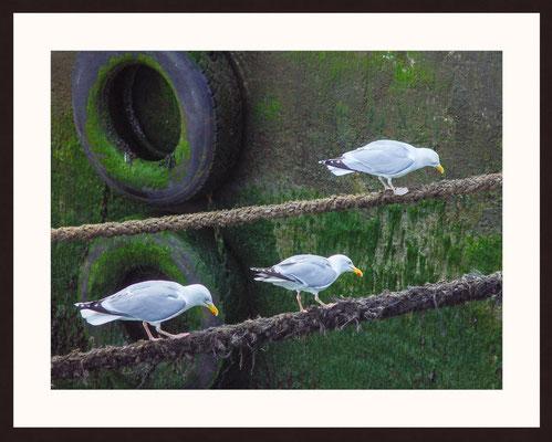 Seagulls, Douarnenez