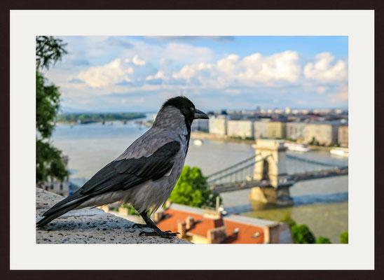 Carrion Crow, Budapest