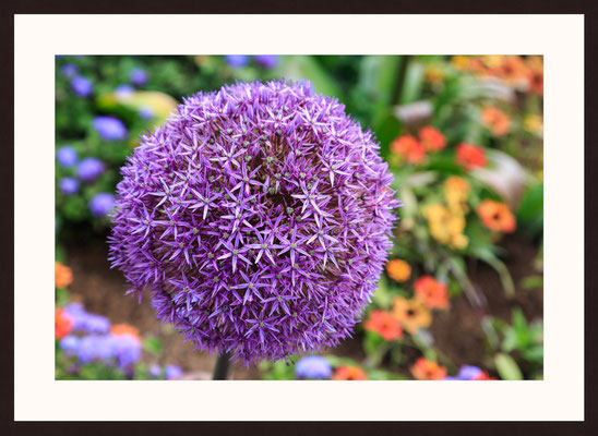 Allium Flower, Muehlacker