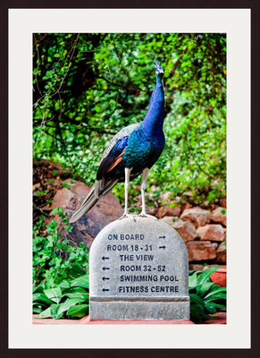 Peacock, Pasumalai Madurai, Tamil Nadu