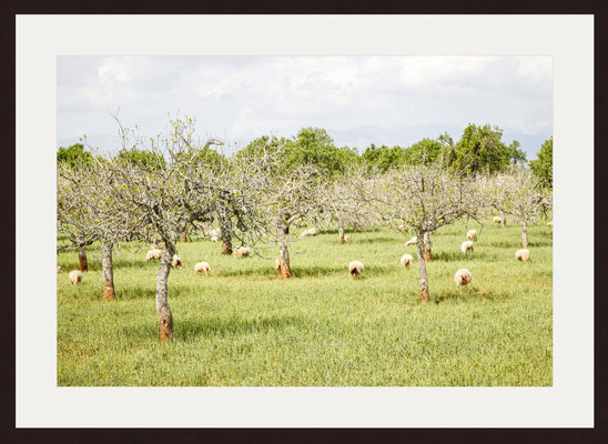 Olive Trees, Puig Molto