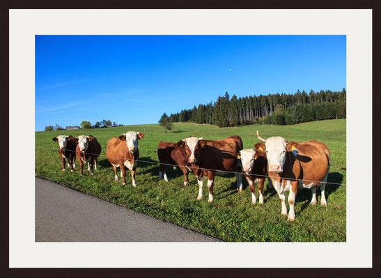 Cow Paddock, Furtwangen