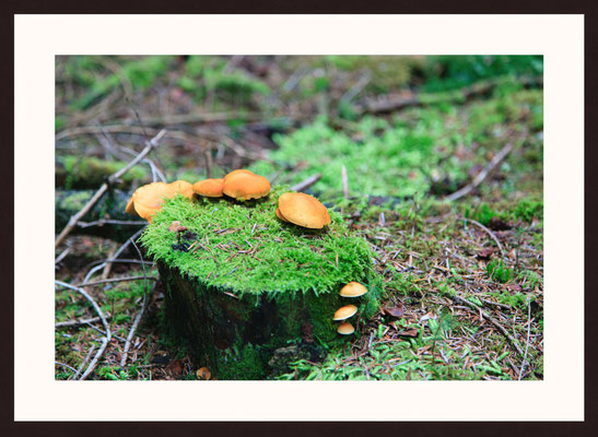 Wild Mushrooms, Zwieselberg-Schiltach