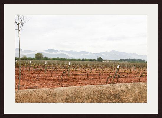 Grape Vines, Illetes