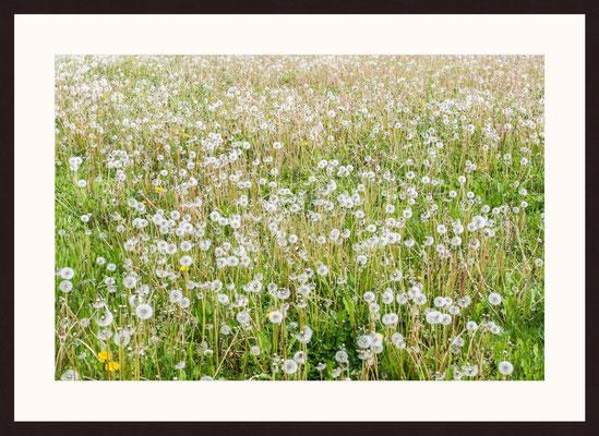 Dandelion Meadow, Boennigheim