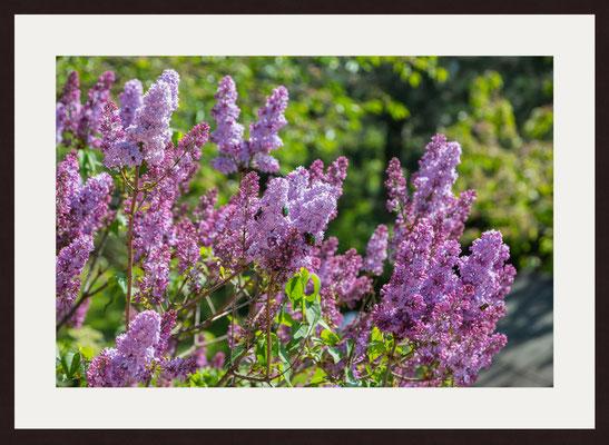 Lilac, Birkenfeld