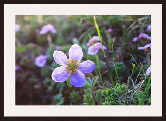 Flower by the Brook, Karcha, Himachal Pradesh