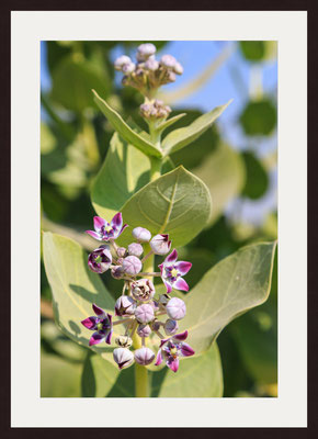 Apple of Sodom (calotropis procera), Brys Fort, Jaisalmer, Rajasthan
