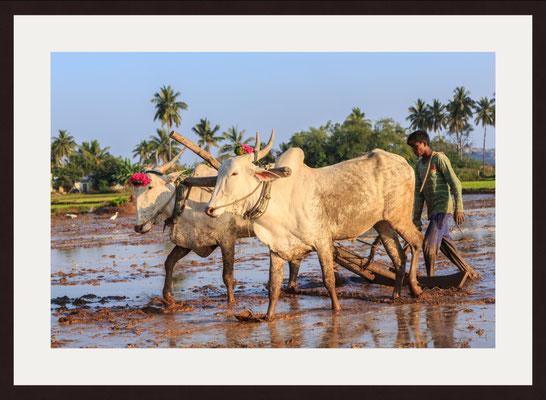 Rice Farmer, Attivatti - Karnataka, India