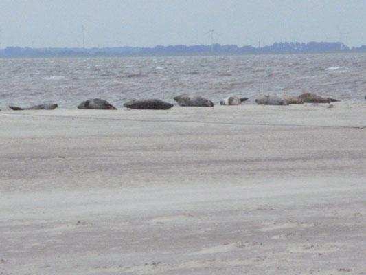 Seehundbank am Inselende Norderneys