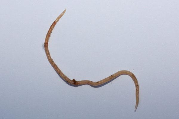 Parasiten Lachshuhnzucht Herne