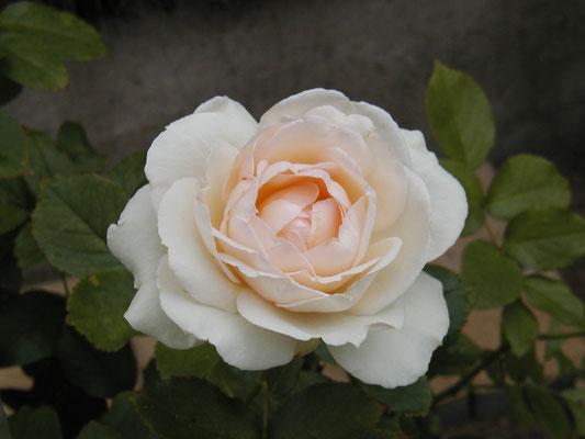 Rose Palais Royal