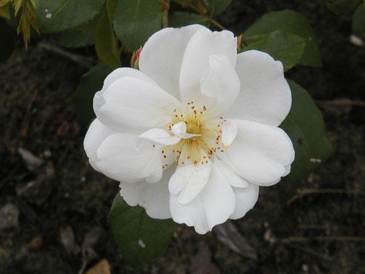 Rose Sourire d'orchidée