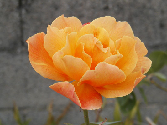 Rose doux parfum