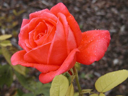 Rose de Star