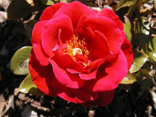 Rose Grand Huit