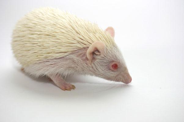 Weißbauchigel - Albino