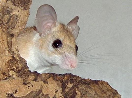 Sinai-Stachelmaus (Acomys dimidiatus)