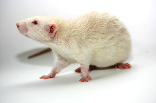 Farbratte - Albino Dumbo Rex