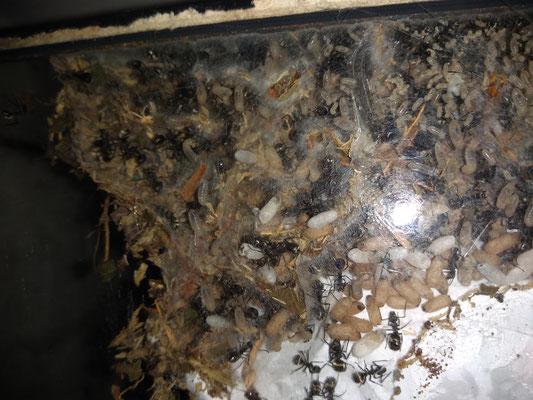Kijkje in het nest van de Aziatische wever-mieren (Polyrachis Dives)